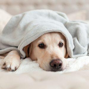 Pension-canina